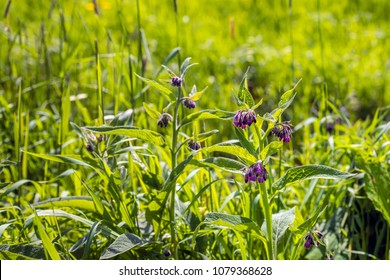 Purple flowers of a common comfrey plant. Comfrey is used in folk medicine as an alternative medicine for various diseases. However internal consumption is not recommended nowadays.
