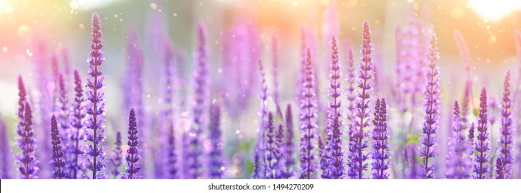 purple flowers of decorative sage field. Beautiful flowers background. Bumbleberry Salvia, Woodland Sage, Salvia Nemorosa in sunlight. Gentle artistic toned flower backdrop for design. banner