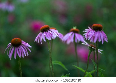 Purple flowers of Echinacea, echinacea, coneflowers on a flowerbed. Flowering plants Echinacea purpurea. in the garden. Background with flowers. Copy space