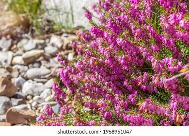 Purple flowers evergreen small shrub of the heather (Erica carnea). Primroses in the garden. Ornamental plant springtime.