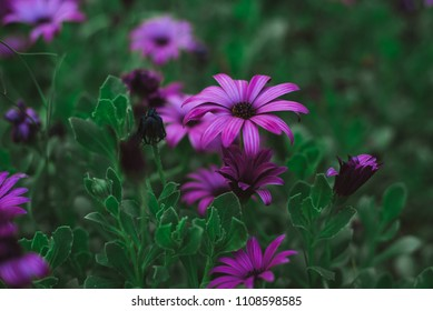 Purple Flowers, Fez, Morocco