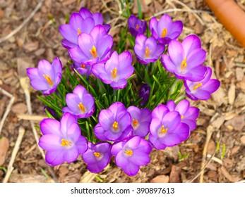 Purple flowers in a garden seen from above