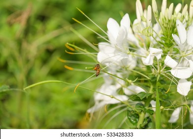 White spider flowers stock images royalty free images vectors purple flowers garden or spider flower mightylinksfo