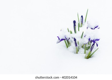 Purple Flowers with Green Leaves in White Snow Background