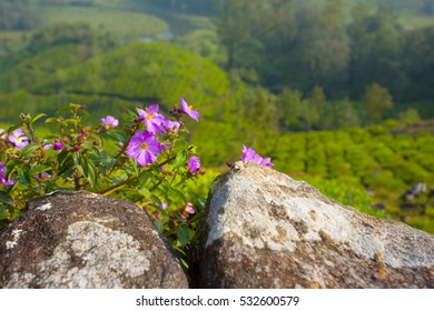 purple flowers grow on a mountain hill in india with a tea plant blurred in the background
