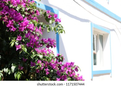 Purple flowers growing in front of a typical blue and white mediterranean house on the popular vacation island of Bozcaada in Turkey.