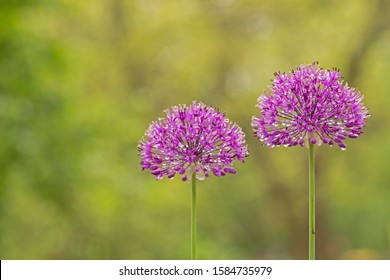 Аllium purple flowers growing in the garden. Purple Allium Flowers Close Up. purple pink garden Allium flower cluster from onion and garlic family. Beautiful picture with Alliums for the gardening.