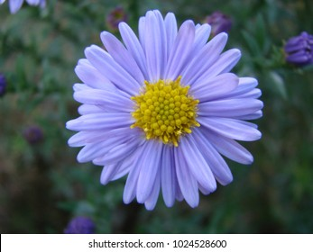 Purple flowers of Italian Asters, Michaelmas Daisy Aster Amellus , known as Italian Starwort, Fall Aster, violet blossom growing in garden, Italy. Soft focus