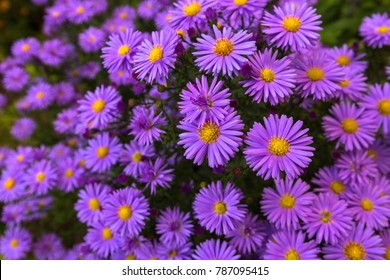 Purple flowers of Italian Asters, Michaelmas Daisy (Aster Amellus), known as Italian Starwort, Fall Aster, violet blossom growing in garden, Italy. Soft focus