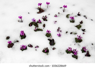 Purple flowers (lat. Cyclamen purpurascens) on a garden lawn from under the snow. First flowers make their way through the snow