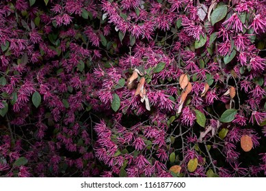 Loropetalum Chinense Rubrum Images Stock Photos Vectors