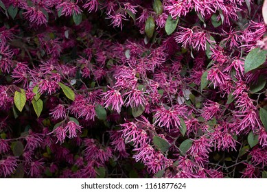 Loropetalum Chinense Images Stock Photos Vectors Shutterstock