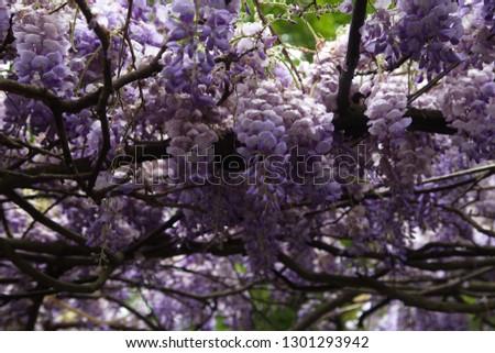 Purple Flowers On Acacia Tree Bottom Stock Photo Edit Now
