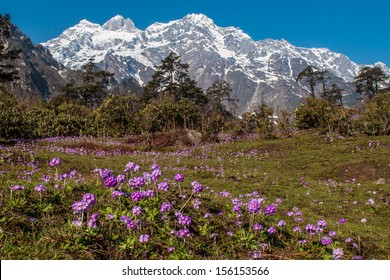 Purple flowers on meadow in thangu valley ,north sikkim