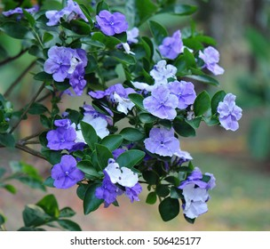 Purple flowers on a plant called yesterday, today and tomorrow or Brunfelsia pauciflora
