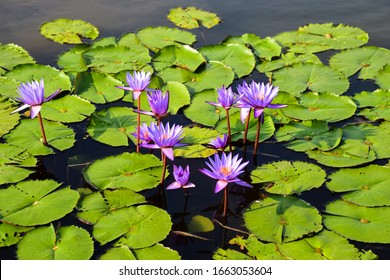 Purple flowers on a pond in Singapore.