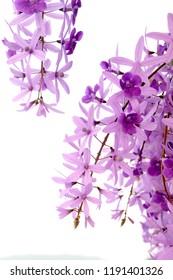 purple flowers on white background (Petrea volubilis L., Purple Wreath, Sandpaper Vine, Queen's Wreath)