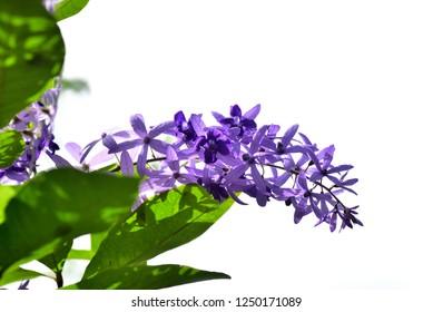 purple flowers on white background (Petrea volubilis L., Purple Wreath, Sandpaper Vine, Queen's Wreath).selective focus, idea use as background.