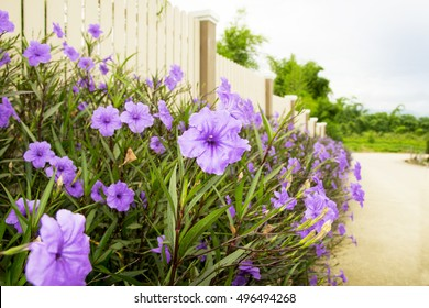 Purple flowers on the wooden fence.
