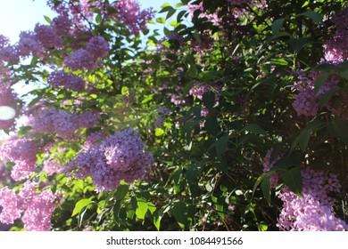 purple flowers in park in spring in czech republic nature