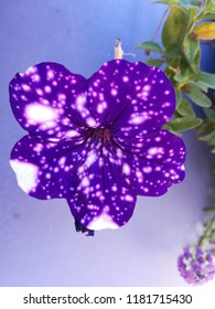 Purple flowers, petunia night sky, small  with long stem and large flowers, composition of multicolored flowers and plants, large dark leaves, beautiful.