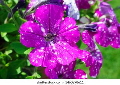 Purple flowers petunia night sky in the garden.