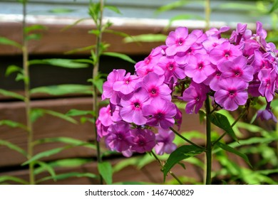 Purple flowers phlox paniculata (fall, garden, perennial or summer phlox). Flowering branch of purple phlox in the summer garden