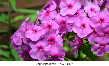 Purple flowers phlox paniculata (fall, garden, perennial or summer phlox). Flowering branch of purple phlox in the summer garden. Panoramic background