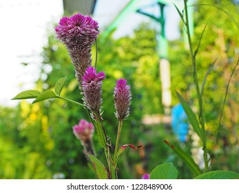 purple flowers of plumed cockscomb or  silver cock's comb