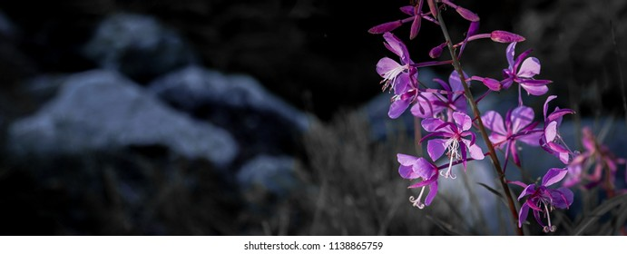 Purple flowers and rocks nature shot banner extra wide angle.
