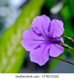 Purple flowers of Ruellia tuberosa , Waterkanon or thai call Toi ting, easy grow flowers, the view of shooting flower from  the back.