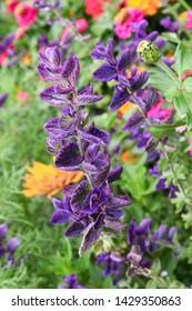 Purple flowers of Salvia sclarea blooms in the garden.