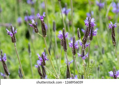 Purple flowers of Spanish Eyes Lavender growing in garden in summer (Lavandula Multifida Spanish Eyes)