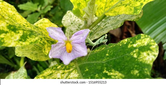 Purple flowers from white eggplants, mantis on green leaves, Closeup of an eggplant flower looks beautiful thrives.