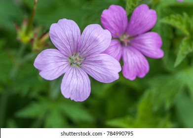 Purple flowers of Wild Geranium maculatum close up. Spring nature, spring garden. Geranium maculatum, the (wild geranium is a perennial plant native to woodland