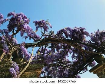 Purple flowers of wisteria in spring