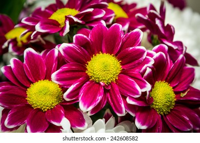 Purple flowers with yellow center in a bunch