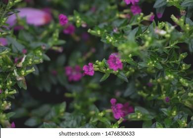 Purple flowwers cuphea hyssopifolia dark tone.