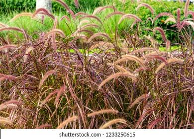 Purple Fountain Grass (Pennisetum setaceum rubrum) - Pembroke Pines, Florida, USA