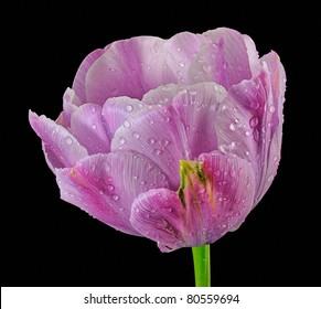 "Purple ""Foxtrot"" - Double Tulip (Tulipa) Liliaceae - Stacked Image"