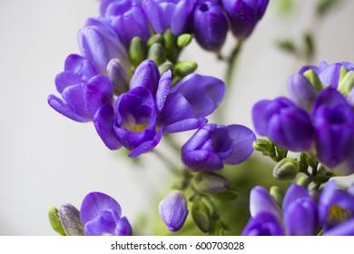 purple Freesia flower
