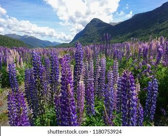 Purple full bloom lupine flower with mountain background, New Zealand summer season