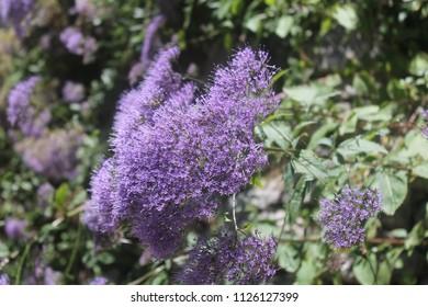 Purple fuzzy flower images stock photos vectors shutterstock purple fuzzy flowers with green background mightylinksfo