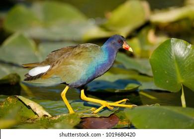 A Purple Gallinule