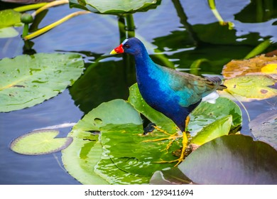 A Purple Gallinule in the Everglades National Park, Florida