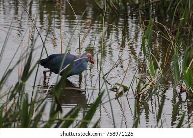 purple gallinule in wetlands