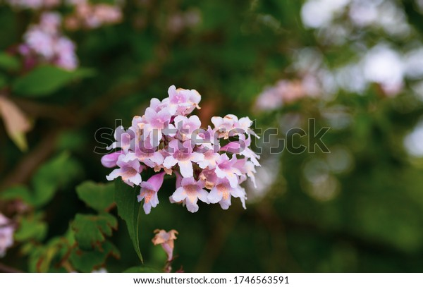 Purple garden flowers. Blurry background. Mature shrubs. Cultivation of flowers. Small flakes.