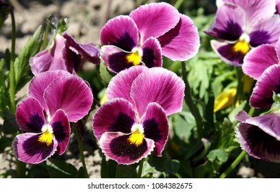 Purple garden pansies (Viola tricolor) growing in garden