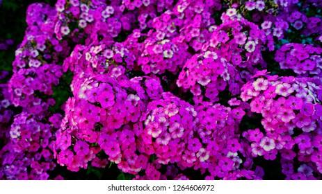 Purple garden Phlox (Phlox paniculata), pink flowers summer background. Floral pattern of purple flowers blooming in June. Beautiful vivid summer flowers background - colorful phlox petals & leaves.