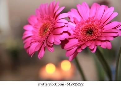 Purple Gerbera Daisy. Gift